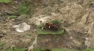 stranded-cows-after-new-zealand-earthquake